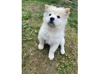 Chow chow puppy ready
