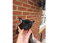 french bulldog black and tan male 3 months old kc reg colour carriers £950