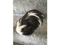 Long Haired Female Guinea Pig