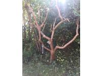Laburnum tree for wood carving -complete tree