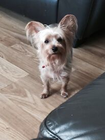 4 year old small yorkie for sale