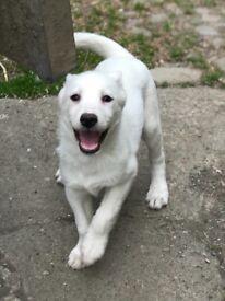 Husky Puppy - last in the litter