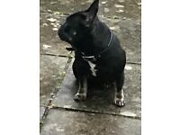 French bulldog female Black and Tan pedigree kc registered 4years old family pet reluctant sale dog