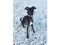 Loving young lurcher needs a new home