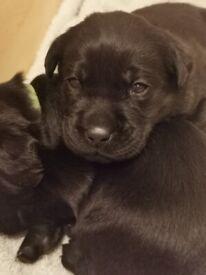 4 black labrador girl puppies.