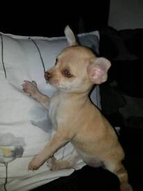 READY NOW chihuahua puppies