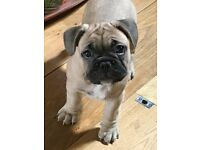 Kc Reg French Bulldog Breed Standard Beautiful Fawn Boy Pup From Health Tested Parents* Ready Now *