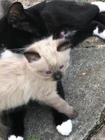 Boy and girl x Siamese kittens