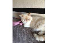 Exotic/ Ragdoll /Persian kittens