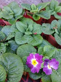 Potted Primroses - Last Dance strong plants - Good colour mix Late-season