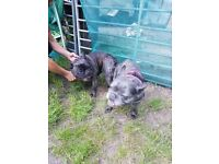 French Bulldog puppies, ready for their forever homes on the 8th. of October