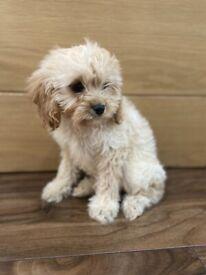 F1 Cavapoochon Adorable Puppies For Sale