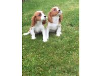 Cavalier King Charles puppies 🐶