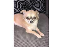 Chihuahua 3 year old girl