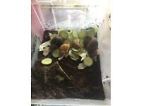 Giant African Land Snail Adults (4)