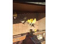 Canarys for sale