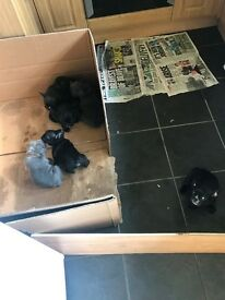Silver kc French bulldogs and black French bulldogs