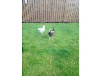 2 Lovely temperment roosters free to a good home! Not horse,poultry,chicken,cat,dog,baby,house,car
