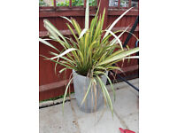 Large Phormium Flax Plant in Concrete Pot