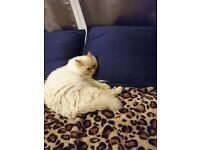Beautiful 3years old Ragdoll Cat
