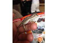 Bearded dragon 4 month old