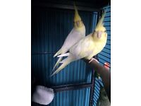 Anyone selling a pair of cockatiels,