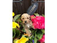 4 cockapoo puppies for sale