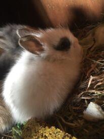 Babie bunnies for sale! Lion heads!