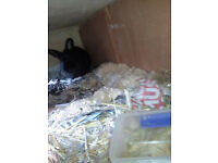 Netherland Dwarf rabbits for free to good home