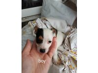 Small Jack russel puppies