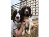 Springer Spaniel Puppies ONLY ONE GIRL LEFT
