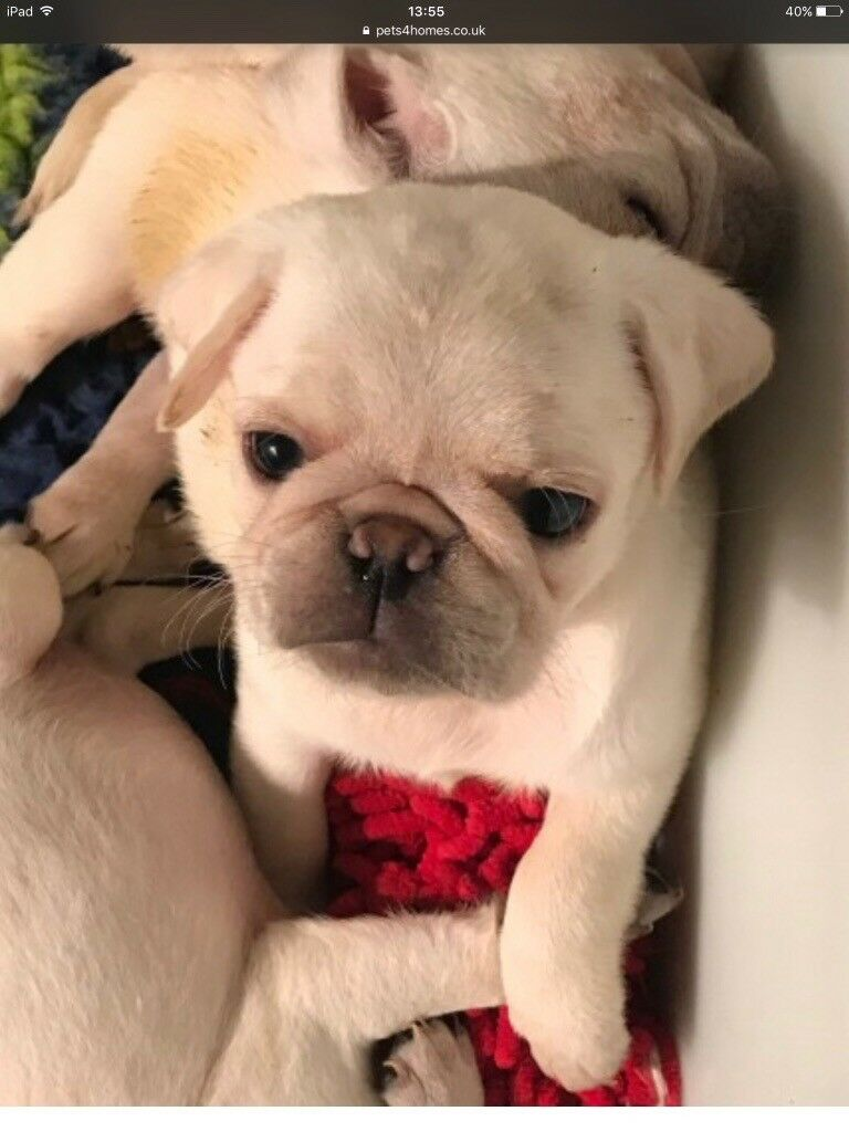 Pug puppy male aged 17 weeks | in Cranbrook, Kent | Gumtree