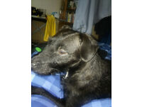 Dog patterdale female needs to find new home