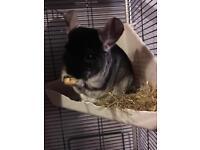 Black velvet male chinchilla
