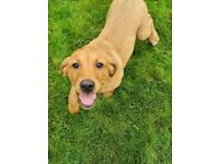 Beautiful Foxred Labrador Bitch Pup For Sale