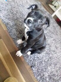 staff x American Bulldog pup fully vaccinated and micro chipped flead and wormed a good home only!!