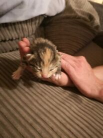 2 female Tabby kittens left. 1 grey tabby with ginger face, 1 grey/orange tabby
