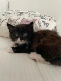 Tuxedo Long Hair Fluffy Kitten