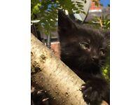 Confident sleek elegant Puma black kitten ready now
