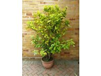 BAY TREE FOR SALE