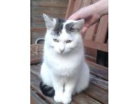 Lovely white female cat (1 year old) FREE because of moving abroad