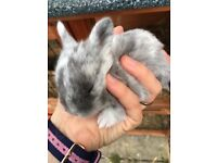 Beautiful baby rabbits £15 each