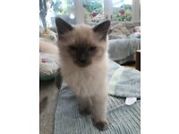 3 male pure bred ragdoll kittens for sale
