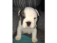 88% English Bulldog 12% Shar Pei Puppies