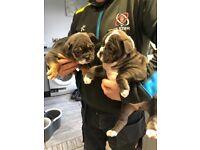 New English bulldog puppies