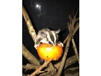Young pair Sugar Gliders