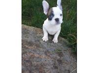 French bulldog pied boy