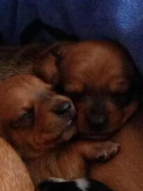 Dachshund, minitiare smooth haired puppies for sale.