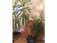 Large Yukka Plant