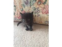 Lovely kitten one male black and female black and white